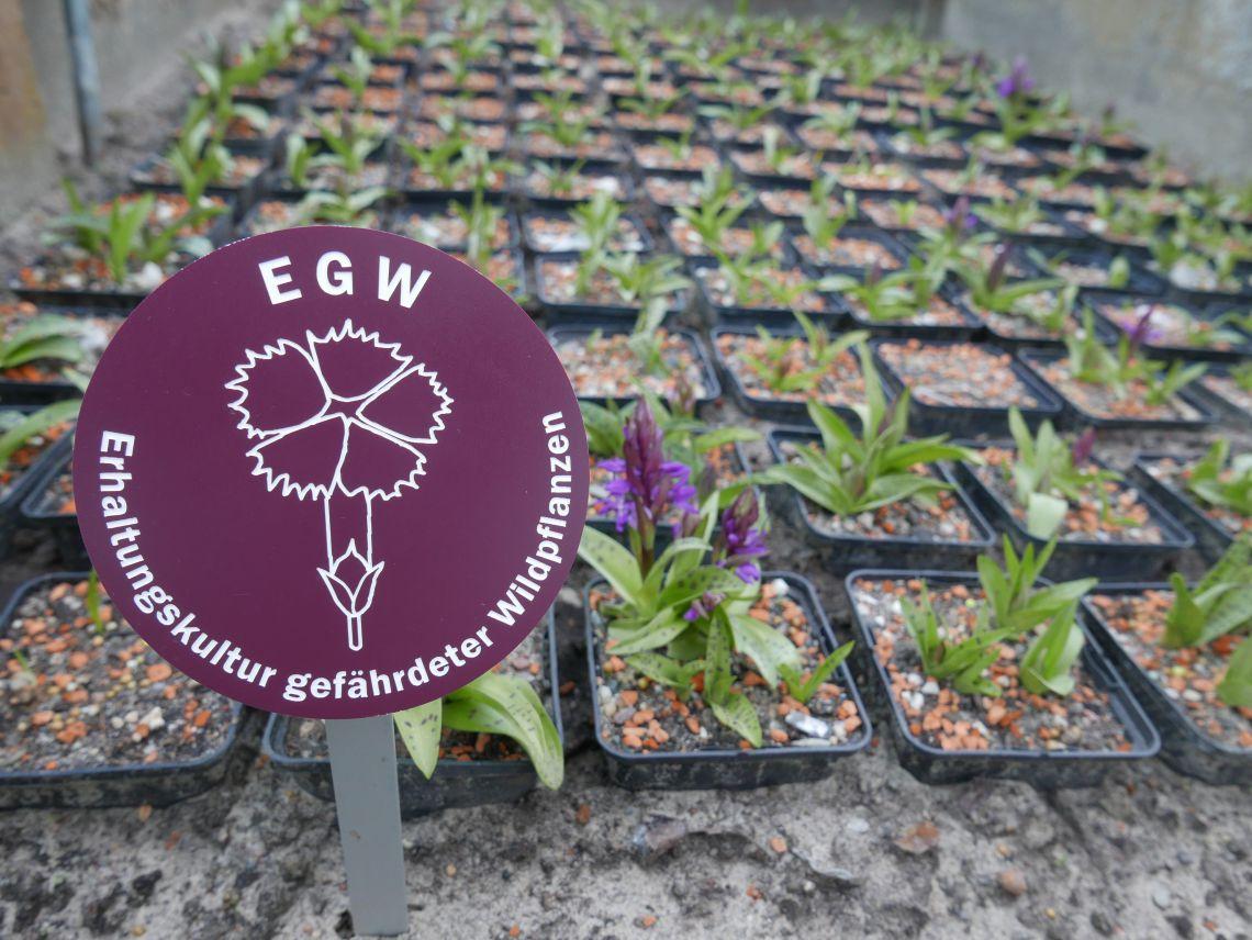 Label  Erhaltungskultur gefährdeter Wildpflanzen vor einer Kultur von Dactylorhiza majalis im Botanischen Garten Potsdam