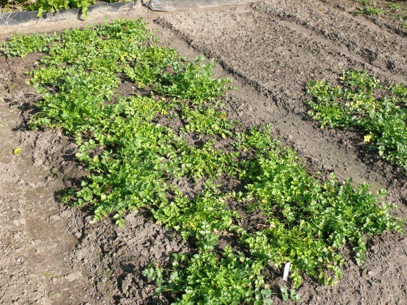Apium graveolens subsp. graveolens