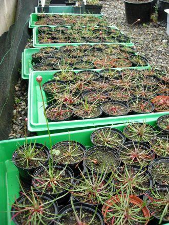 Armeria maritima subsp. purpurea