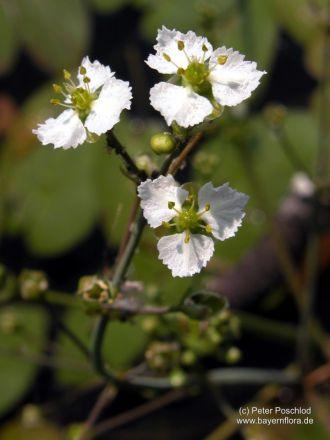 Caldesia parnassifolia