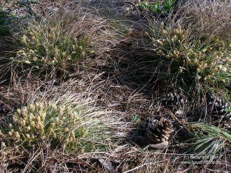 Carex humilis