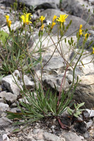 Chondrilla chondrilloides