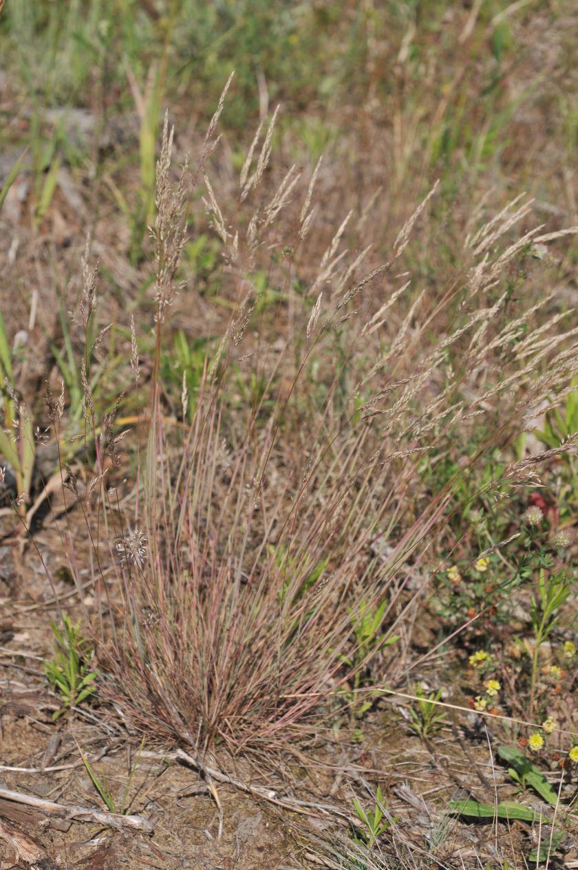 Corynephorus canescens