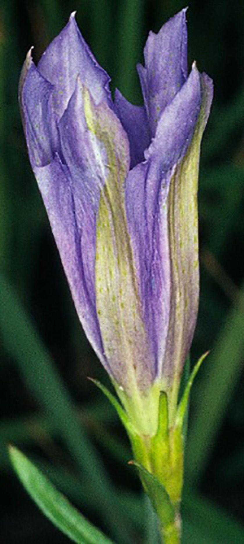 Genista tinctoria subsp. tinctoria