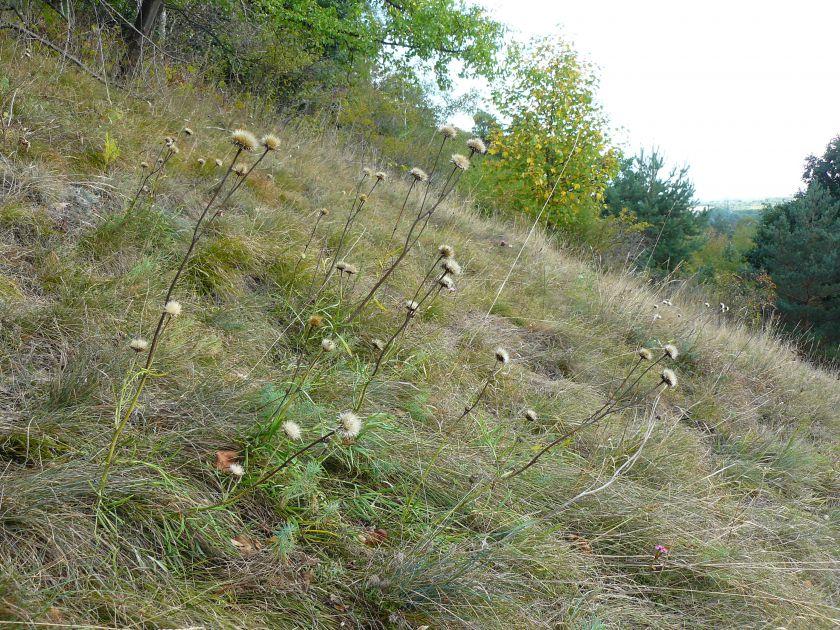 Jurinea cyanoides