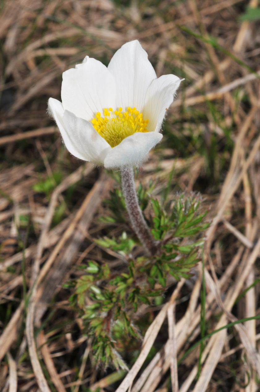 Pulsatilla alpina subsp. alba
