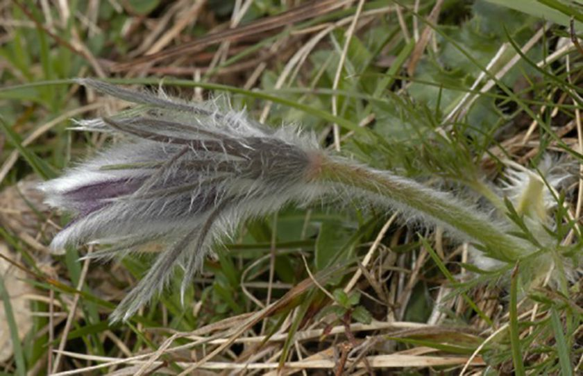 Pulsatilla vulgaris subsp. vulgaris