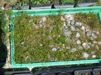 Ranunculus reptans