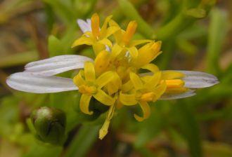 Tripolium pannonicum