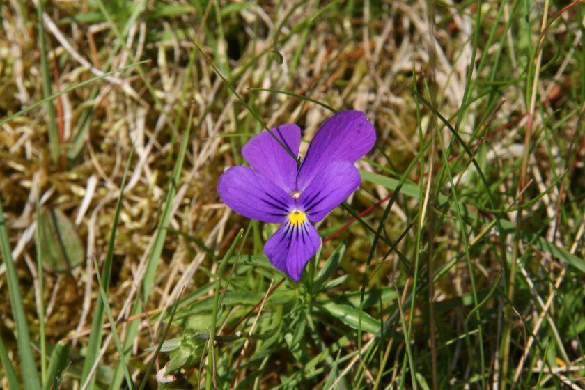 Viola guestphalica