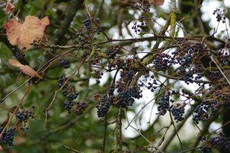 Vitis vinifera subsp. sylvestris